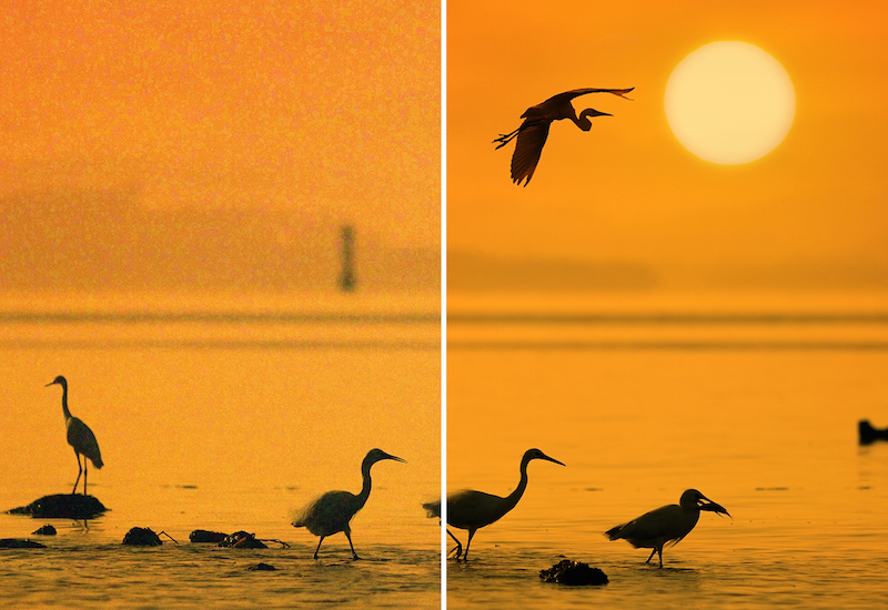 egrets play in sunset _vergleich